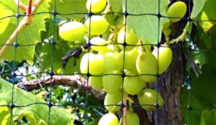 Anti bird netting protection over green table grapes