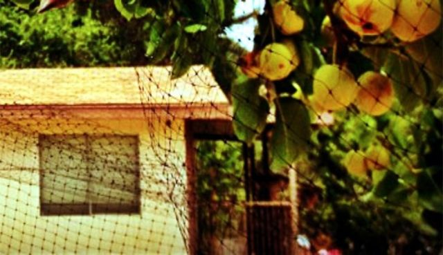 Peach tree covered with anti-bird netting for fruit protection