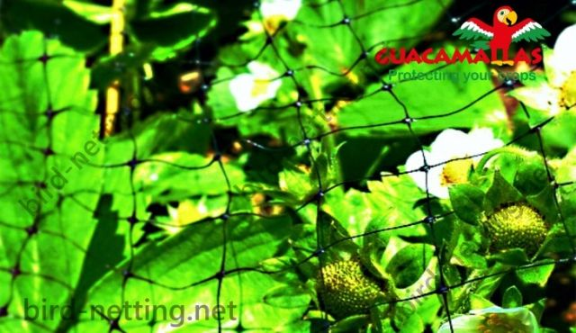 Strawberry plants flowers and fruits protected against damage with anti-bird netting