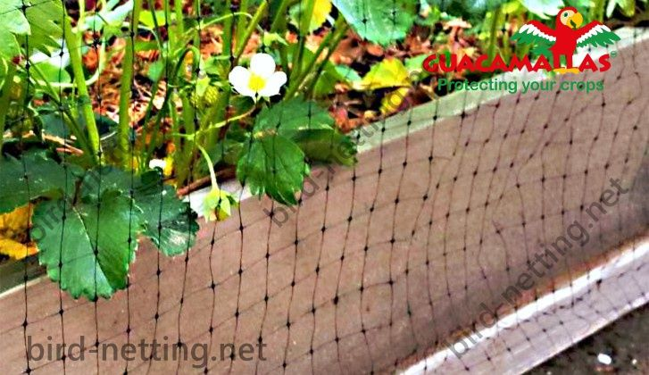 Strawberry plants protected with anti-bird netting