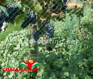grapes crops with bird net